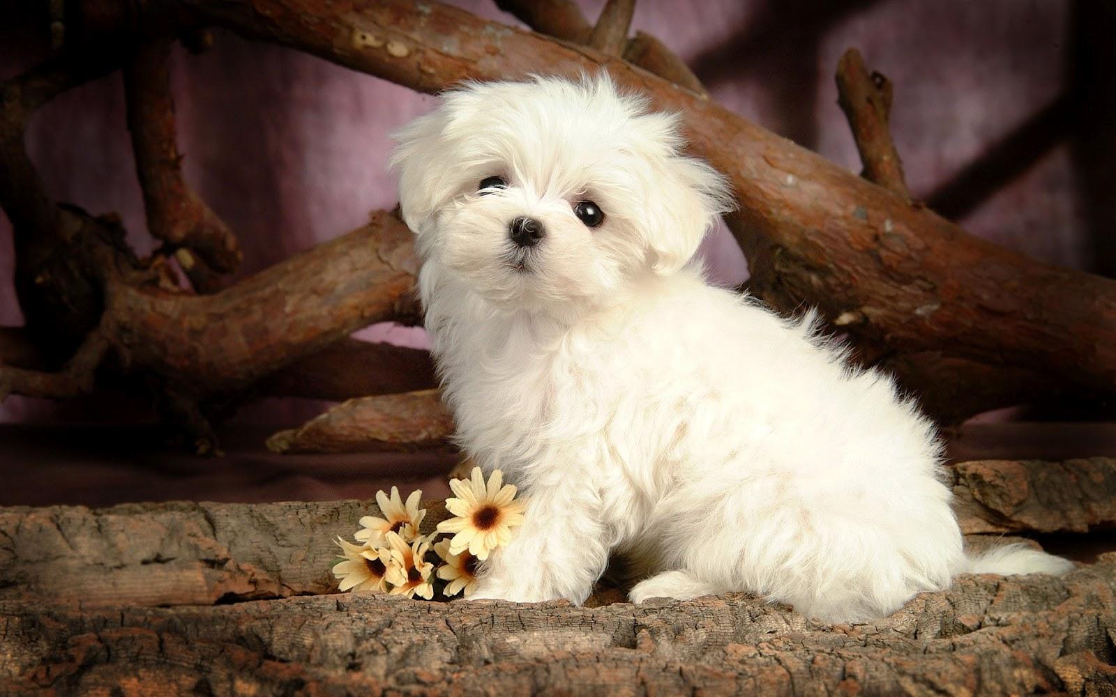 Cute Puppy Dog Wallpapers 1600x1000 Fondo De Pantalla 899