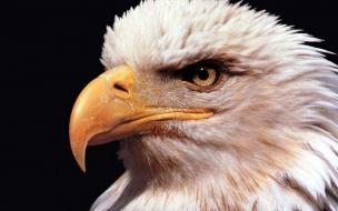 Animal wallpaper golden eagle