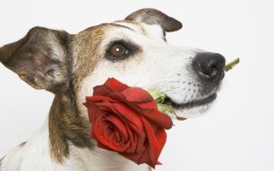 Fondo de pantalla perro con una flor roja