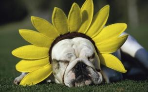 Fondo de pantalla perro con girasol