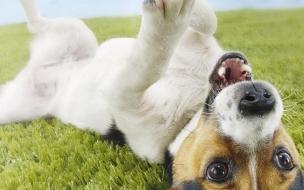 Fondo de pantalla perro jugando en cesped