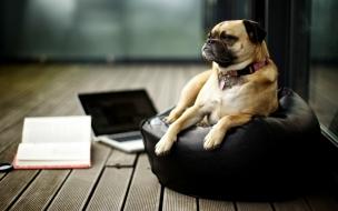 Fondo de pantalla perro gerente
