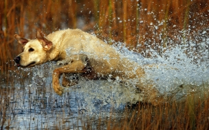 Fondo de pantalla perro saliendo del agua