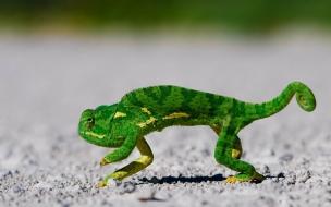 Fondo de pantalla camaleon huyendo