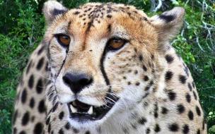 Fondo de pantalla guepardo hermoso
