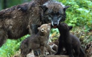 Fondo de pantalla loba con hijos