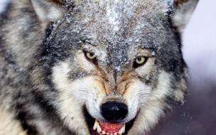 Fondo de pantalla lobo hambriento