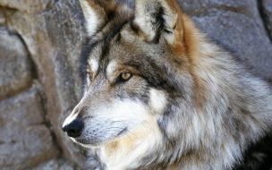 Fondo de pantalla lobo mirando