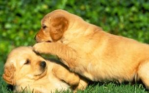 Fondo de pantalla perros jugando en cesped