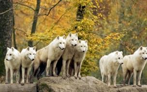 Fondo de pantalla lobos blancos
