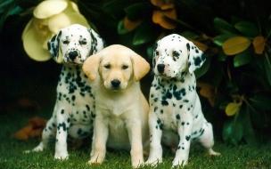 Fondo de pantalla perros dalmatas