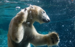 Funny Animals Swimming Polar Bear Full
