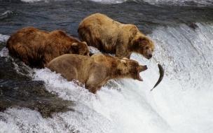 HD Animals wallpapers Brown Bears Alaska