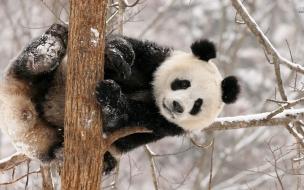 Fondo de pantalla oso panda jugando