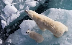 Fondo de pantalla osa polar con su hijo