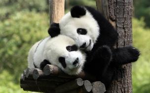 Fondo de pantalla ositos pandas abrazados