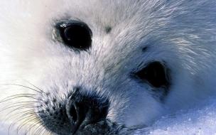 Fondo de pantalla foca bebe