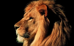 Fondo de pantalla melena de leon