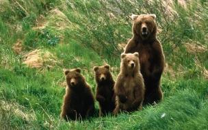Fondo de pantalla osa grizzly con sus bebes