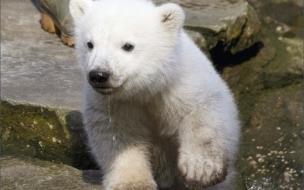 Fondo de pantalla oso polar bebe corriendo