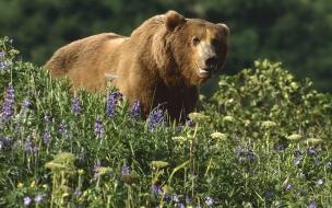 Fondo de pantalla oso grizzly mirando