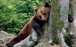 Fondo de pantalla oso cansado