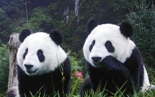 Fondo de pantalla osos pandas hermosos