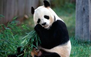 Fondo de pantalla oso panda comiendo bambu