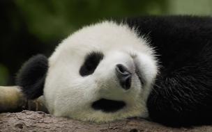 Fondo de pantalla oso panda cansado