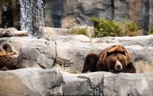 Fondo de pantalla grizzly dormido