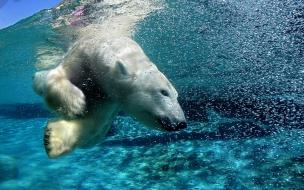 Fondo de pantalla de oso polar nadando