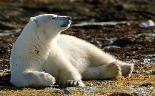 Fondo de pantalla oso polar observando el horizonte