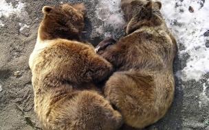 Fondo de pantalla osos grizzlys ocostados