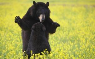 Fondo de pantalla osos negros americanos jugando