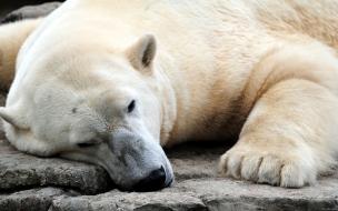 Fondo de pantalla oso polar acostado