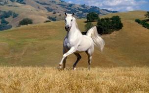 Fondo de pantalla caballo blanco corriendo