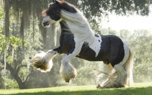 Fondo de pantalla caballo irish cob
