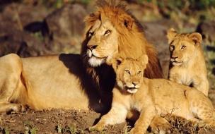 Fondo de pantalla leon con sus hijos