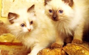 Fondo de pantalla gatos persa