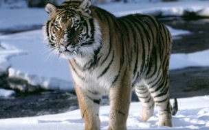 Fondo de pantalla tigre caminando