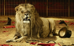 Fondo de pantalla leon hambriento