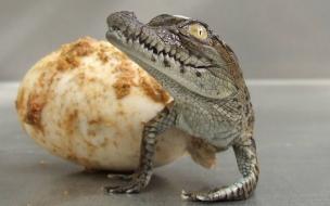 Fondo de pantalla cocodrilo bebe