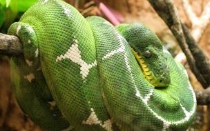 Fondo de pantalla serpiente verde enrollada
