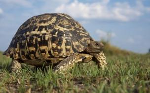 Fondo de pantalla tortuga gorda caminando