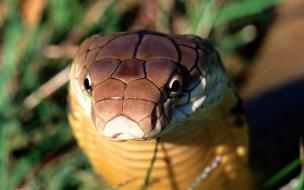 Fondo de pantalla serpiente cobra