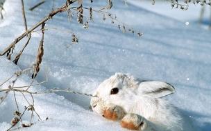 Fondo de pantalla conejo en la nieve