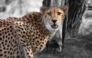 Fondo de pantalla guepardo asustado