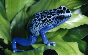 Fondo de pantalla rana azul hermosa