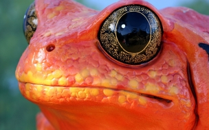 Fondo de pantalla rana con ojos brillantes