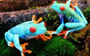 Fondo de pantalla ranas celestes